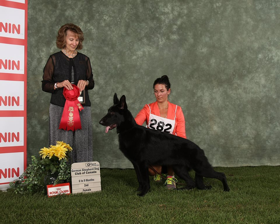 Madeb's Olympic Gold 2nd place Junior Puppy at the Canadian National 2014